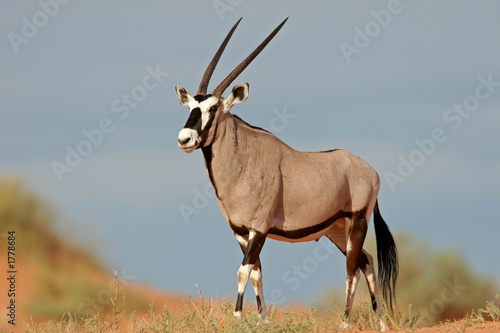 Photo sur Aluminium Antilope gemsbok antelope
