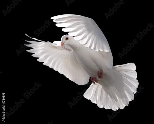 white dove in flight 5 Canvas-taulu
