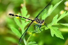 Smiling Dragonfly 72.