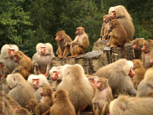 curious baboons Canvas Print