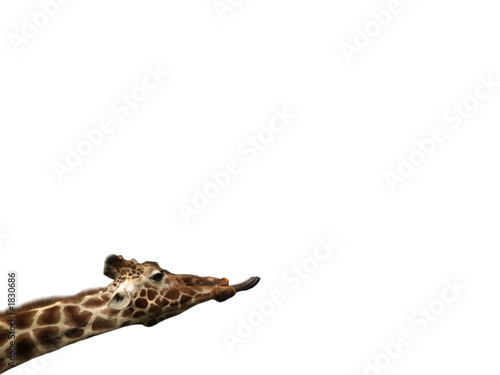 Fotografie, Tablou  isolated giraffe