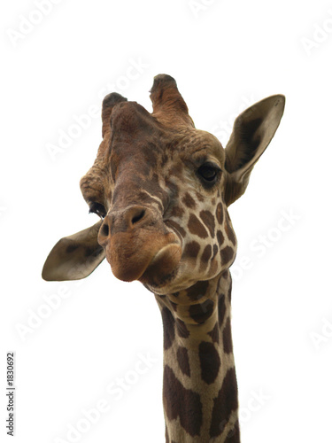 Fototapeta žirafa