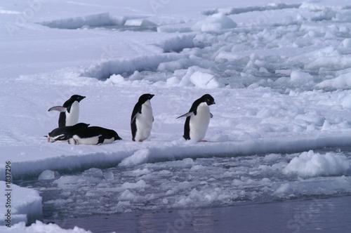 Foto auf Gartenposter Antarktika adelie penguin