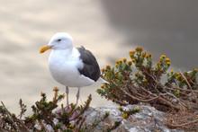 Seagull Standing On Rocks Overlooking Ocean At Pismo Beach Calif