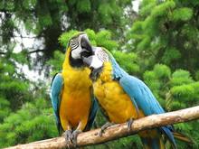 Kissing Parrots