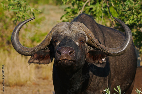 Deurstickers Buffel cape buffalo