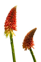 Pair Of Red Hot Poker Flowers