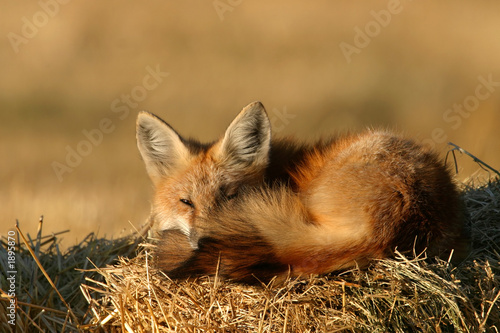 Fotografia lazy fox