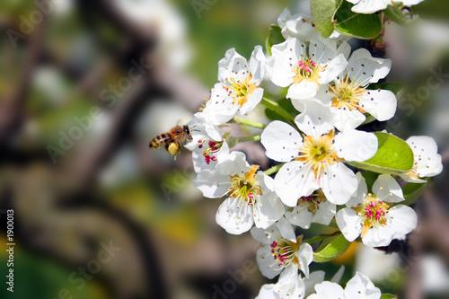Plakat kwiat jabłoni z pszczołą / kwiat jabłoni z pszczołą 4