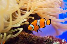 Fish And Anemone