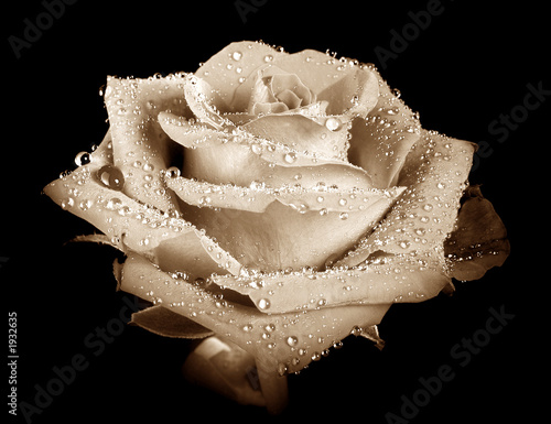 Fototapeta roses of gold