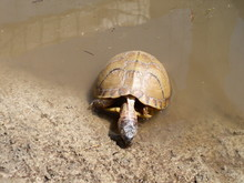 Three-toed Box Turtle Drinking...