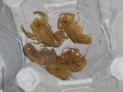 baby scorpions - Buy this stock photo and explore similar