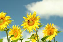 Sun Flowers And Bee