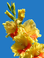 Yellow-orange Gladiolus