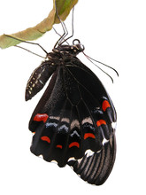 Orchard Swallowtail Isolated