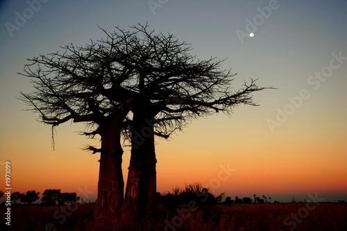 Recess Fitting Baobab baobab tree