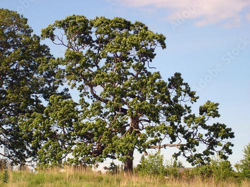 Photo garry oak in saanich bc