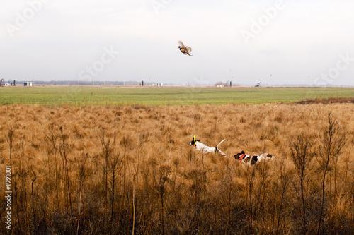 Foto op Aluminium Jacht pheasant on the wing