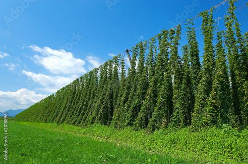 Láminas  hop plantation