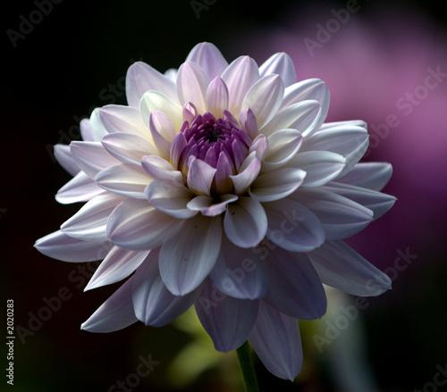 Foto purple dahlia