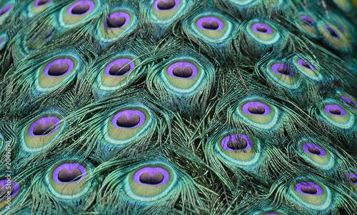 Photo sur Toile Les Textures pfau