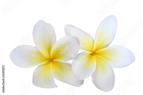 Deurstickers Frangipani two isolated frangipanis