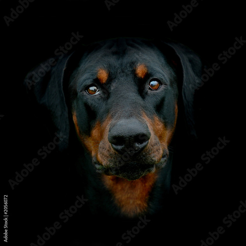 Papel de parede sydney the dobermann