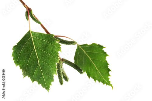 Fotografie, Obraz  birch tree leaves on white