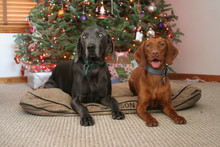 Two Dogs In Front Of Christmas Tree Vizsla
