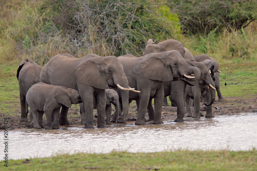 Canvas Prints Elephant african elephants