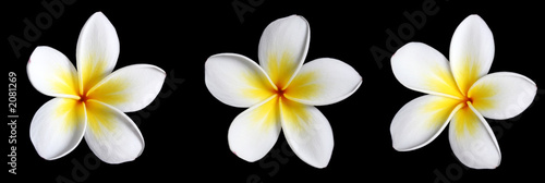 three frangipani on black Poster Mural XXL