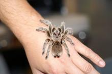 Grammostola Rosea Spider