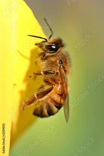Poster Bee honey bee on yellow tulip