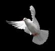 Leinwandbild Motiv white dove in flight 9