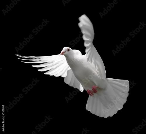 Valokuva  white dove in flight 9
