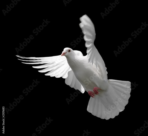 white dove in flight 9 Canvas-taulu