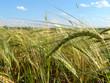 barley field 5