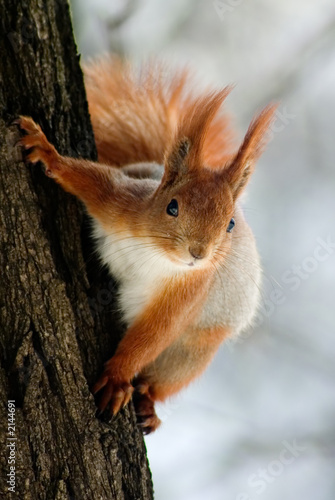 Deurstickers Eekhoorn squirrel on the tree stem