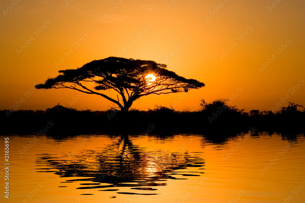 Fototapeta acacia tree at sunrise