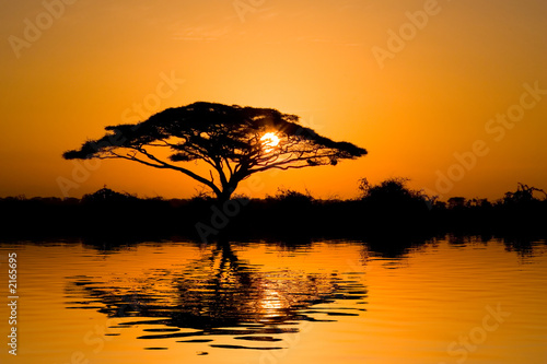 Poster Oranje eclat acacia tree at sunrise