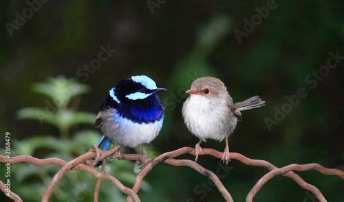 pair of blue fairy  wrens Fototapeta