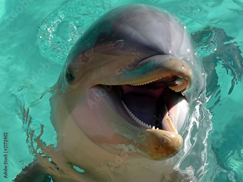smiling bottlenose dolphin Canvas Print