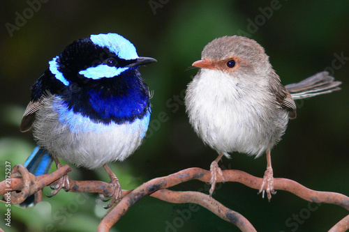 a pair of superb blue fairy wrens Canvas-taulu