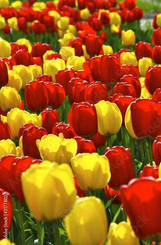 Foto auf Gartenposter Tulpen tulips field