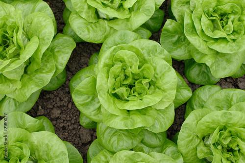 Obraz lettuce - fototapety do salonu