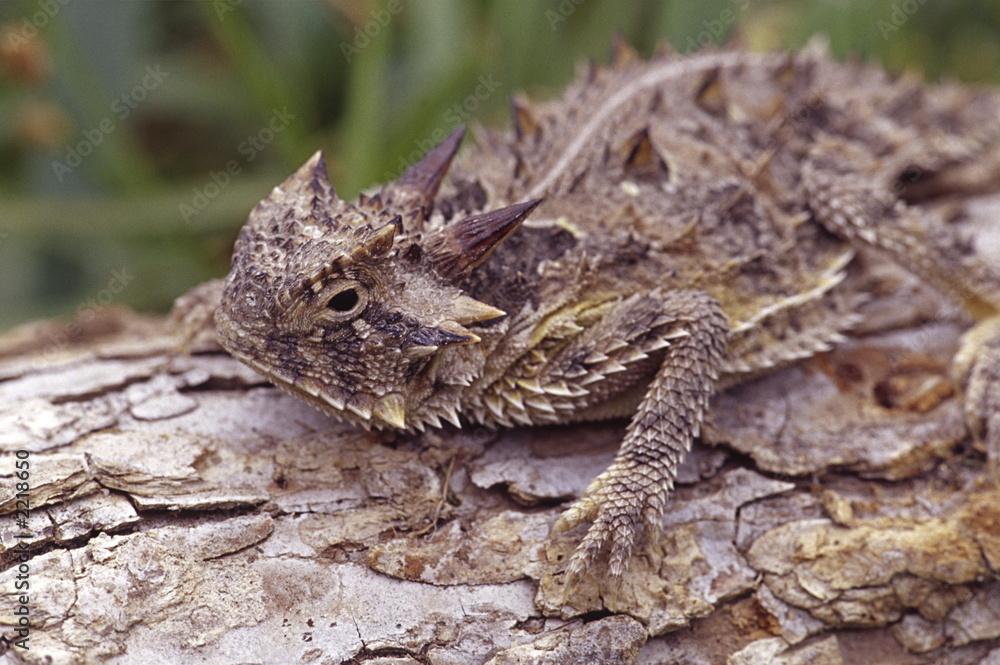 Fototapeta texas horned toad 2
