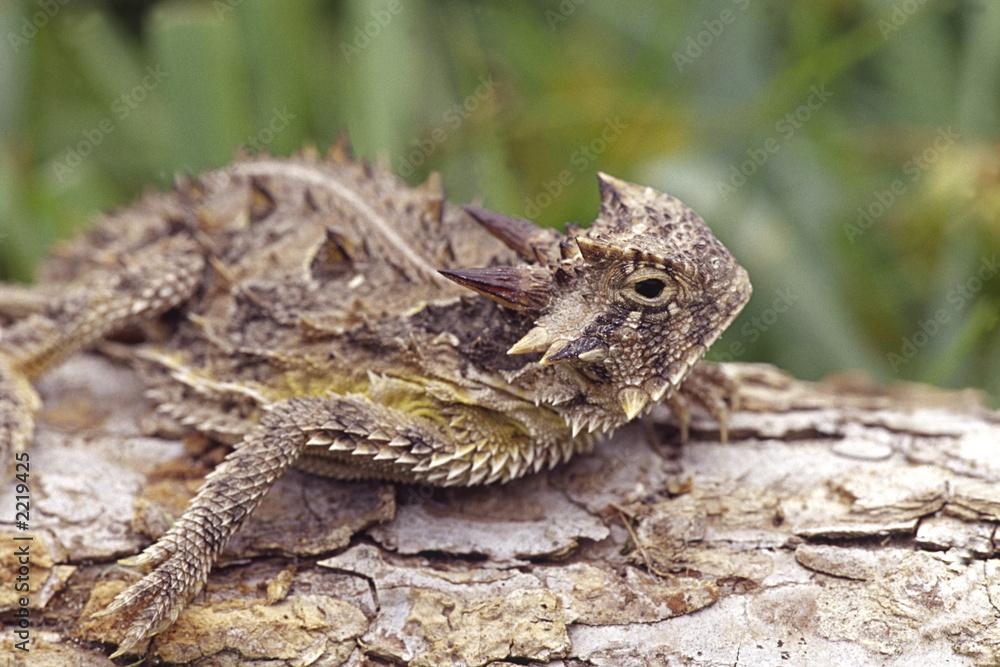 Fototapeta texas horned toad