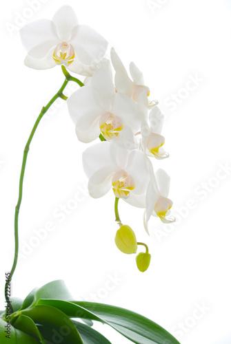 Photo sur Aluminium Orchidée orchidée blanche en pied