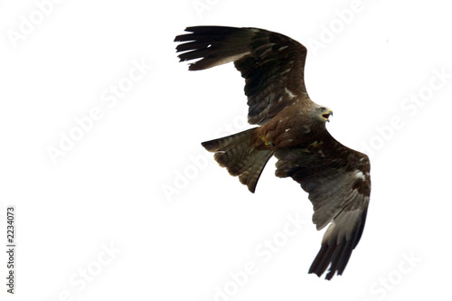 Photo  red kite isolated